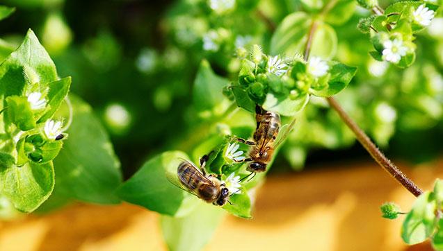 matki pszczele buckfast