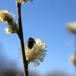 Pyłek z wierzby